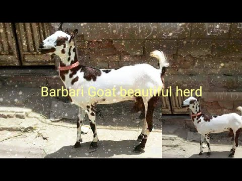 Goats Production  Barbari Goat in Pakistan - YouTube