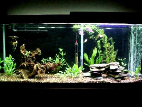 55 gallon planted community tank with driftwood and slate for Fish tank driftwood