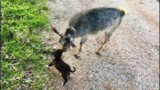 Minicik Köpek Kocaman Keçiye Kafa Tutuyor