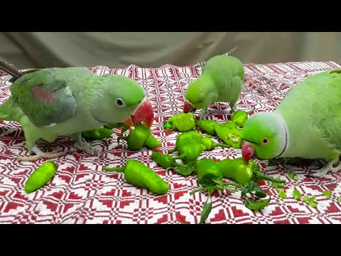 Talking Parrots Eating Their Most Favourite Green Pepper