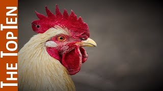 The Top Ten Most Beautiful Chickens