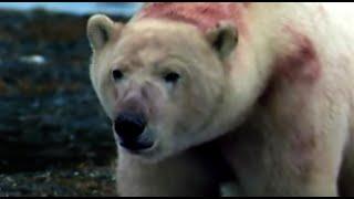 Polar Bears Ambush A Colony Of Sea Lions Polar Bear Battlefield BBC Earth