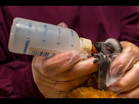 This teeny tiny baby lemur at the San Diego Zoo will make your Thursday