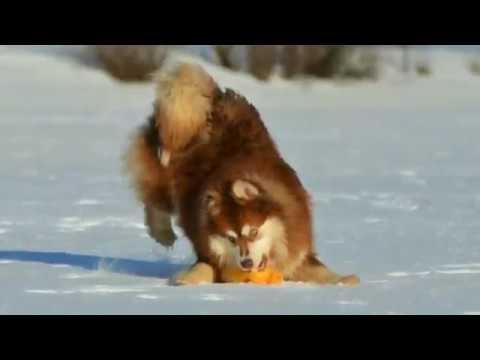 Finnish Lapphund / Финский Лаппхунд