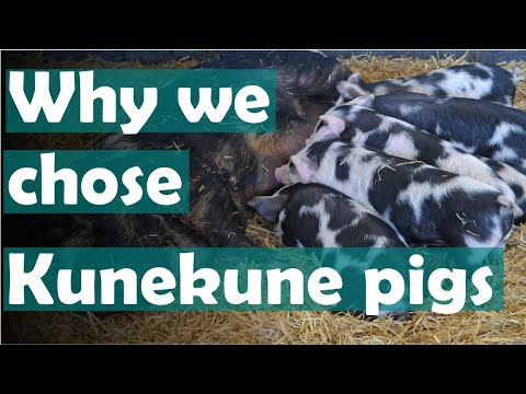 Kunekunes On The Homestead | Are Kune Kune Pigs Right For You?