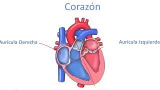 Apoyan sistema el corazón ¿Cómo circulatorio? al los pulmones y