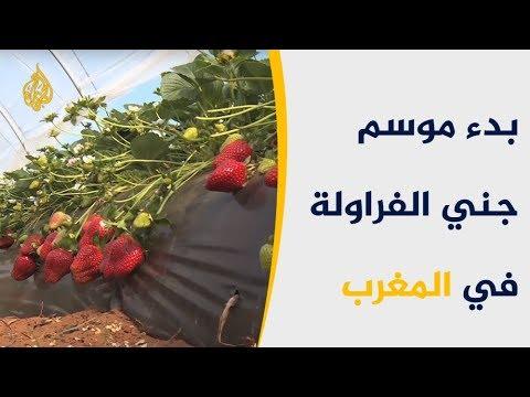 موسم جني الفراولة.. كنز التجارة والاقتصاد المغربي  - 13:54-2019 / 4 / 13