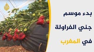 موسم جني الفراولة.. كنز التجارة والاقتصاد المغربي
