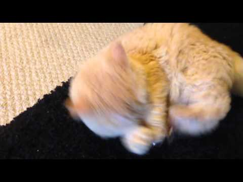 CUTE Selkirk Rex cat vs mouse
