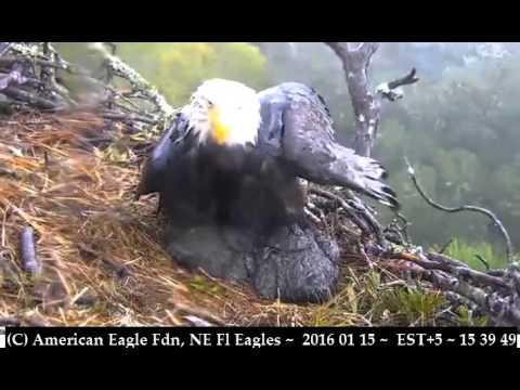 eagle torrents