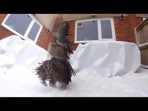 Hungarian Pulik love snow! It's a dance-off