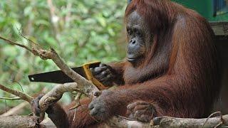 Orangutan Sawing Duel with Spy Orang