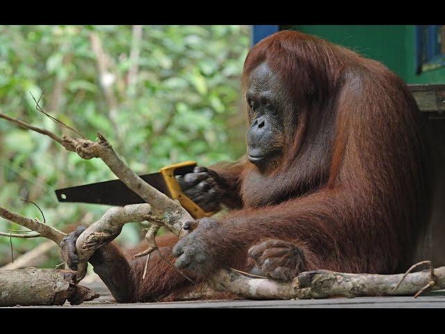 Orangutan Sawing Duel