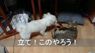総合格闘技!犬猫版UFC】マルチーズのちゅーぶマンVS鹿児島子猫ポンプ・...