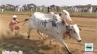 Bull Race In Pakistan Sunny Video Fateh Jang 16 10 2019 .
