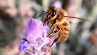 How bees turn nectar into honey
