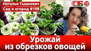 Как получить урожай овощей из обрезков