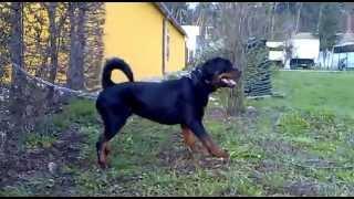 Romanian Police K9 Unit Dog - Rottweiler Named Goliath