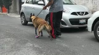Ciatico en del perros lesion nervio
