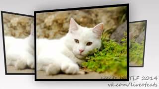 "Фото Кошек. Слайд шоу фото кошек ""Кошки #2"". Белые кошки."