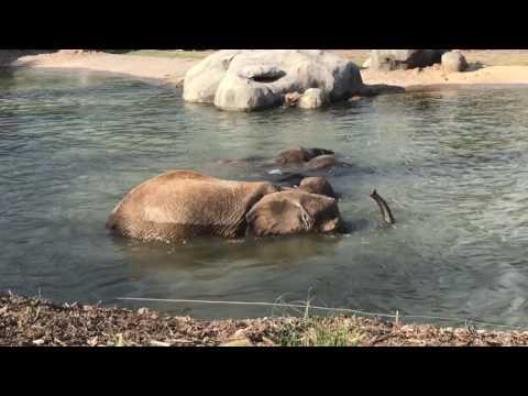 Elephants swim at the Henry Doorly Zoo