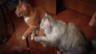 Дрессировка котов в домашних условиях ( коты дают лапу )