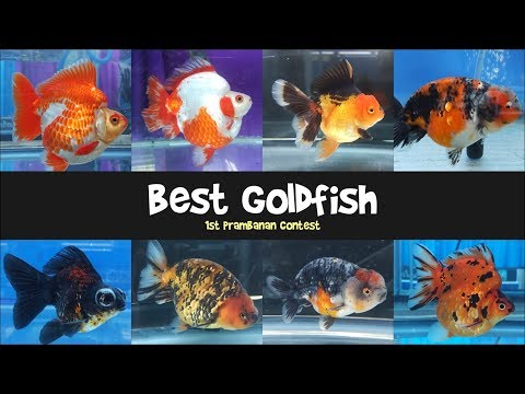 Best Quality Goldfish Contest - Ranchu, Oranda, Ryukin