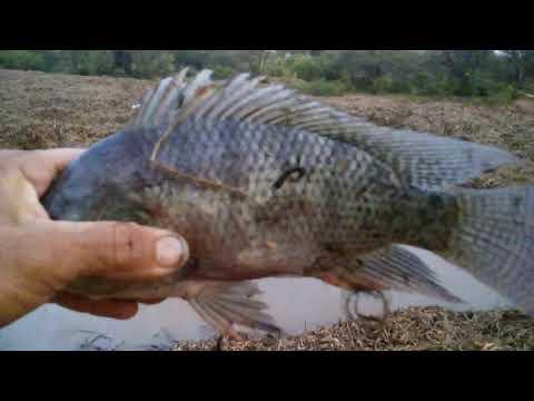 Pesca de carpas y tilapias en el rio pesca con chuy