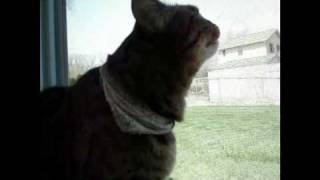 Bengal Cat Chirps at Birds