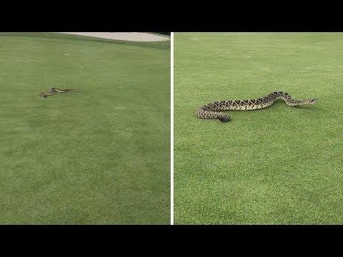 Golfers Lefts Shocked As Giant rattlesnake Invades Green