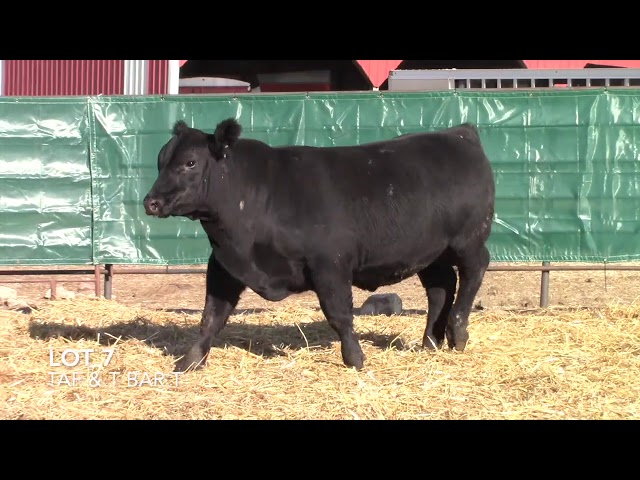 T Bar T and Taliaferro Angus Lot 7