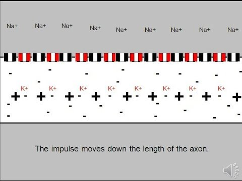Action Potential (Neural Impulse) Animation