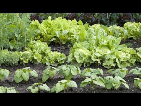 Growing lettuce in space