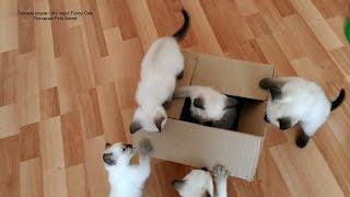 Тайские котята и картонная коробка! Тайские кошки   это чудо! Funny Cats