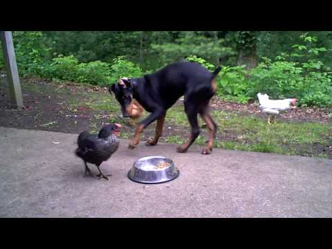 Chicken learns the true nature of the Doberman Pinscher