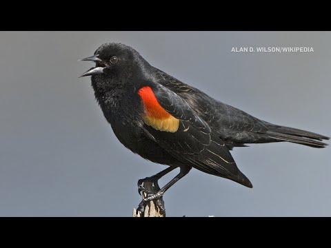 Beware of Pete, the dive-bombing bird in Ottawa