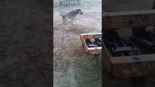 My Afghan kuchi Dog