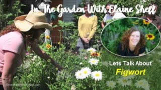 Green Path Herb School - Herbalist Elaine Sheff talks about Figwort...