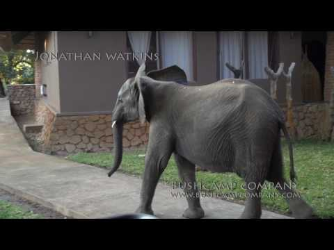 Elephants show up for an early check-in at Mfuwe Lodge