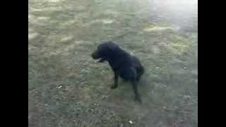 Dove Hunting Dog In Training - British Lab