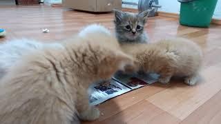 Котята обедают. )