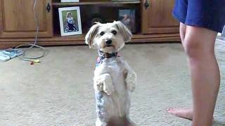 Dog Tricks From Yorkie-poo