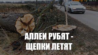 Общественники выступают против вырубки придорожных аллей в Калининградской области