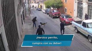 El perro de raza Pastor Velga Mallinios fue herido en el cuello y hocico por un hombre que se negó a una revisión; se reporta estable y permanecerá en reposo para su recuperación