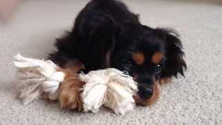 4 Mo Cavalier King Charles Spaniel Puppy - Guinness!