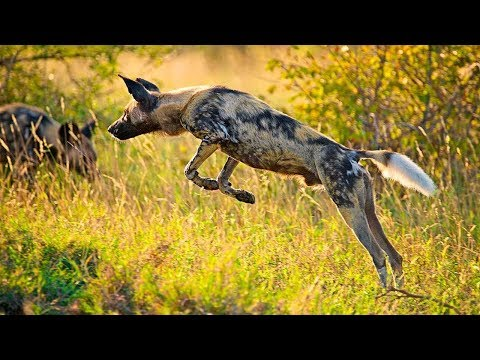 Wild dogs make a kill in front of Guest Tent