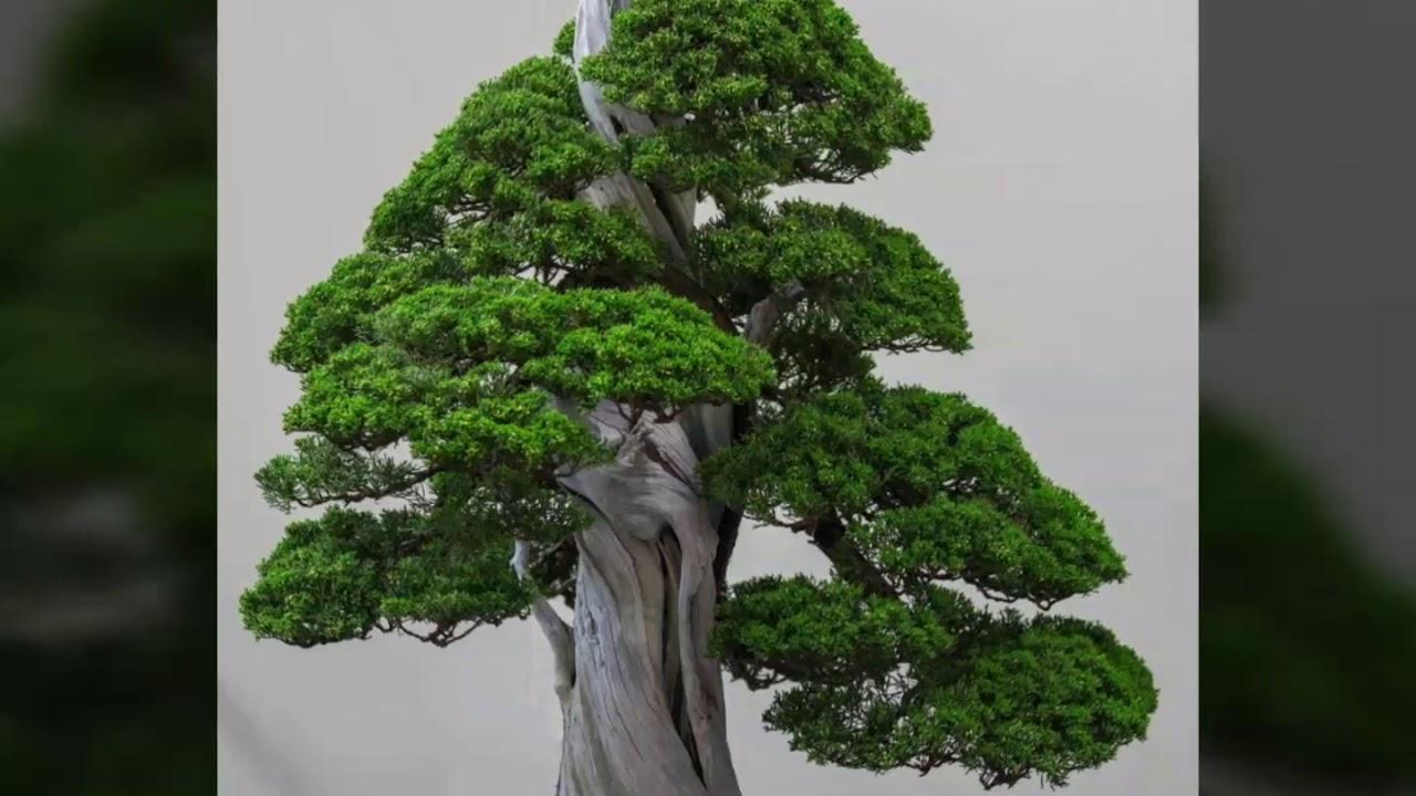 Bonsai sưu tầm 64 – Những cây bonsai dáng trực, trực lắc đẹp.