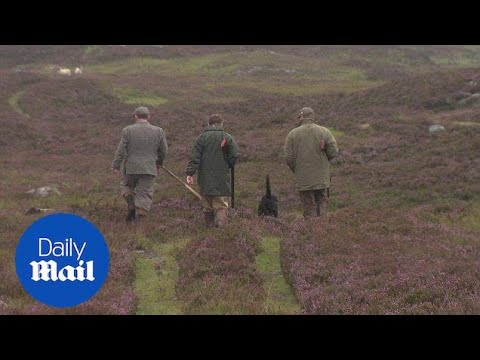 Shooters take part in grouse hunting on Glorious Twelfth - Daily Mail