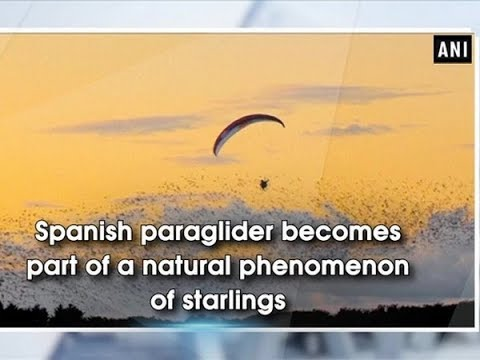 Spanish paraglider becomes part of a natural phenomenon of starlings - ANI News