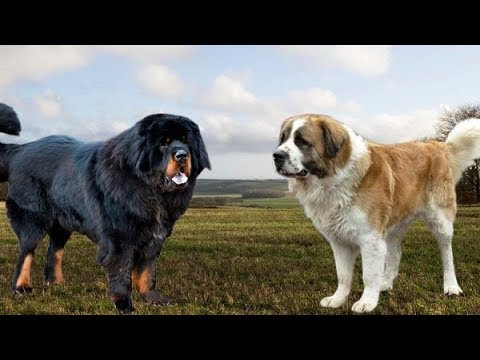 Tibetan Mastiff vs Moscow Watchdog - Strongest and Best Guard Dogs
